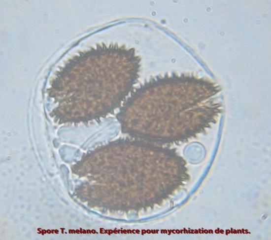Spores de tuber melanosporum