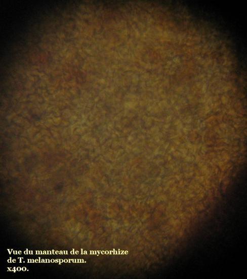 Mycorhize de Tuber melanosporum